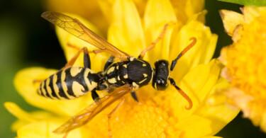 Wespe Blume Stich