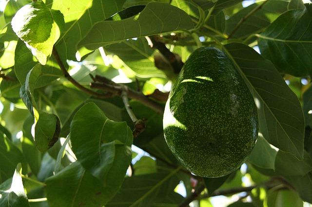 Avocado - Trendfrucht und Allrounder